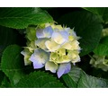 Thumb_big_hydrangeas
