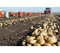 Продаем картофель оптом Краснодарский край,картофель оптом в Краснодаре - Эко-продукты, фрукты, овощи в Кубани