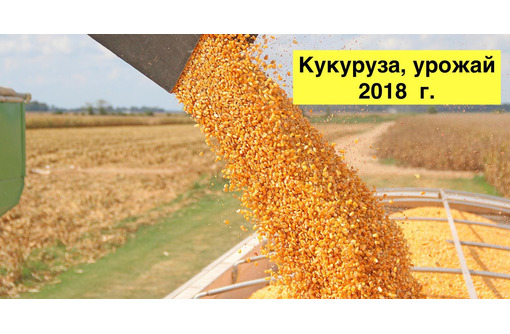 Кукуруза товарная 200 т., урожай 2018 г., фото — «Реклама Тихорецка»