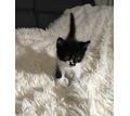 Котята от Сибирской кошки. - Кошки в Тимашевске