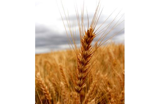 Семена озимой пшеницы Степь, Таня, Тимирязевка-150, Юка, Юбилейная 100, фото — «Реклама Краснодара»