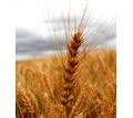 Семена озимой пшеницы Степь, Таня, Тимирязевка-150, Юка, Юбилейная 100 - Саженцы, растения в Краснодаре