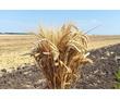 Семена озимой пшеницы Алексеич, Баграт, Безостая 100, Гром, Гомер, Граф, Гурт, фото — «Реклама Краснодара»