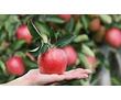 Требуются сотрудники в бригаду на сбор яблок, фото — «Реклама Тимашевска»