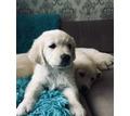 Щенки Голден ретривера - Собаки в Белореченске