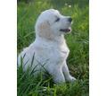 Щенки золотистого ретривера - Собаки в Белореченске