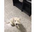 Золотистый ретривер щенки - Собаки в Белореченске