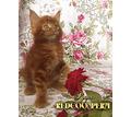 Котята мейн кун - уникального красного окраса. Шоу класс. Питомник - Кошки в Краснодаре