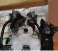 Щенки бивера - Собаки в Кубани