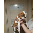 Боксер щенки 1.5 мес - Собаки в Кубани