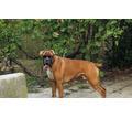 Подрощенный щенок боксера - Собаки в Кубани