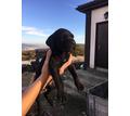 Продаются щенки  Кане Корсо - Собаки в Кубани