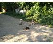 дрессировка собак,курс послушания для щенков.охрана хозяина., фото — «Реклама Апшеронска»