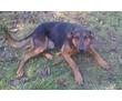 найдена собака-кобель  похож на немецкого пинчера, фото — «Реклама Краснодара»