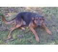 найдена собака-кобель  похож на немецкого пинчера - Собаки в Краснодаре