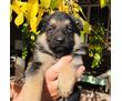 продам щенков немецкой овчарки, фото — «Реклама Ейска»