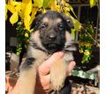 продам щенков немецкой овчарки - Собаки в Кубани
