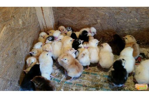 Цыпленок суточный доставка бесплатно, фото — «Реклама Ейска»