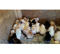 Цыпленок суточный доставка бесплатно - Птицы в Кубани