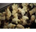 Индюшонок суточный доставка бесплатно - Птицы в Кубани