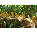 семена кукурузы ксс 5290 росагротрейд - Саженцы, растения в Тихорецке