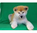 Японская акита девочка продаётся - Собаки в Кубани