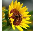 Семена подсолнечника среднеспелый сорт Мастер - Саженцы, растения в Кубани