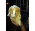 морские свинки,кролики продажа - Грызуны в Кубани