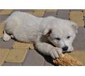 щенки алабая любимцы семьи - Собаки в Кубани