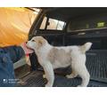 Продаются щенки среднеазиатской овчарки - Собаки в Кубани