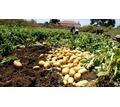 Продаем картофель оптом в Краснодарском крае. молодой картофель оптом Краснодар, урожай 2020 года - Эко-продукты, фрукты, овощи в Краснодаре