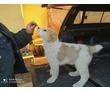 Продаются щенки среднеазиатской овчарки, фото — «Реклама Анапы»