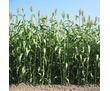 Семена суданской травы Камышинская 51, Краснодарская 75, фото — «Реклама Краснодара»