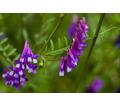 Семена вики озимой - Саженцы, растения в Кубани