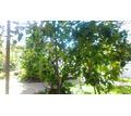 Лимонное дерево - Саженцы, растения в Лабинске
