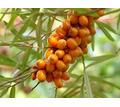 Облепиха свежая - Продукты питания в Кубани
