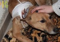 Умирающую собаку с вросшей в шею цепью спасли краснодарские зоозащитники, фото — «Рекламы Краснодара»