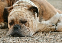 Category_dog_1639528_960_720