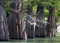 Роща болотного кипариса на Кубани – настоящее чудо! (ФОТО), фото — «Рекламы Краснодара»