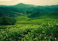 Чайные плантации Кубани – красиво и полезно (ФОТО), фото — «Рекламы Тихорецка»