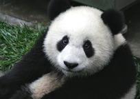 Category_panda