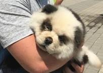 «Замученная» фотографами в Сочи панда оказалась перекрашенным щенком, фото — «Рекламы Темрюка»