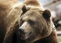 Владельца базы отдыха судят за то, что содержащийся там медведь оторвал девочке руку, фото — «Рекламы Кропоткина»