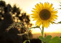 Category_sunflower_1127174_960_720