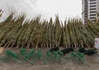 Стали известны адреса елочных базаров в Краснодаре и предварительные цены на елки, фото — «Рекламы Краснодара»