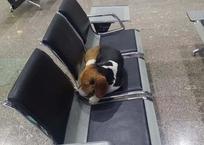 История кубанского Хатико, брошенного в аэропорту Сочи, заставила рыдать очевидцев ФОТО, фото — «Рекламы Славянска-на-Кубани»
