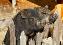 Category_potbelly_pigs_2872531_960_720