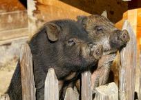 Кража свиней закончилась их побегом в Тихорецком районе, фото — «Рекламы Кубани»