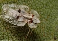 Category_klop_kruzhevnitsa-entomofaune.qc.ca
