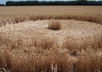 Охотники за кругами на полях сообщили о находке в Гулькевичском районе ФОТО, ВИДЕО, фото — «Рекламы Гулькевичей»